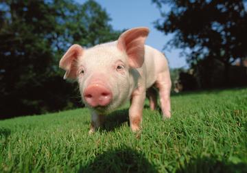 人类首次!美国团队成功将猪肾植入人体,肾功能正常且无排异反应